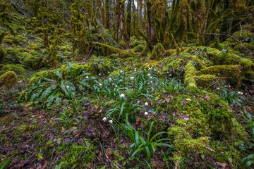 Carpet of Spring snowflake (Leucojum vernum) in the woods  among the moss  Massif du Bugey  Ain  France