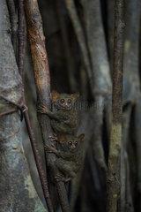 Spectral Tarsiers (Tarsius tarsier) on Fig tree (Ficus) Tangkoko National Park  North Sulawesi  Indonesia