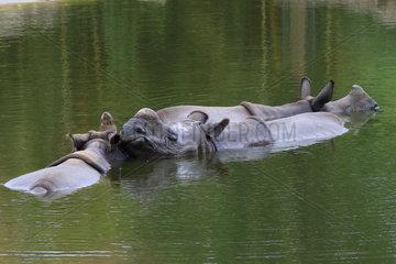 Indian rhinoceros (Rhinoceros unicornis) bathing