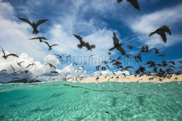 Brown noddy (Anous stolidus) flocking over the lagoon  Ilot de Sable Blanc  Mayotte