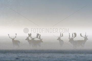 Herd of Fallow Deers (Cervus dama) on misty morning  Hesse  Germany  Europe