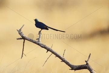 Golden-breasted starling (Cosmopsarus regius)  Samburu  Kenya