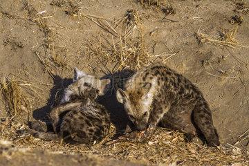 Spotted hyaena (Crocuta crocuta) at den  Kruger National park  South Africa