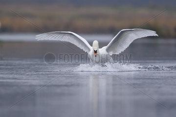 Mute Swan (Cygnus olor) landing on the water  Rhin river  Ile du rhin  Alsace  France