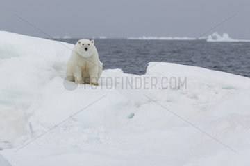 Polar bear (Ursus maritimus) on the ice floe  Wrangel Island  Chukotka  Russia