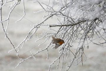 European robin ( Erithacus rubecula ) taking off a frosty bush  Lorraine  France