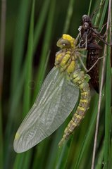 Yellow-legged clubtail (Gomphus pulchellus) emerging from its exuviae. Ossau valley  Pyrenees  France