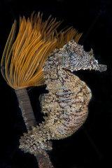 Mediterranean sea seahorse(Hippocampus hippocampus) on Spirograph (Sabella spallanzani)  Mediterranean Sea