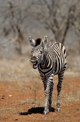 Young Plains Zebra (Equus burchellii) calls her mother  Kruger National Park  Mpumalanga  South Africa