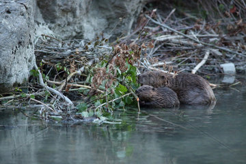 European Beaver (Castor fiber) with young eating branches in front of lodge in a river  Hautes-Alpes  France