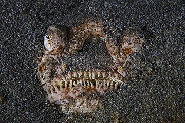 Stargazer (Uranoscopus sp.) hiding in the sand  Mayotte
