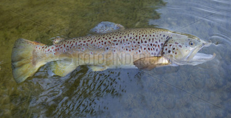 Brown Trout (Salmo trutta fario)  Large male of 62 cm  Fly fishing  Haut-Rhin  Alsace  France