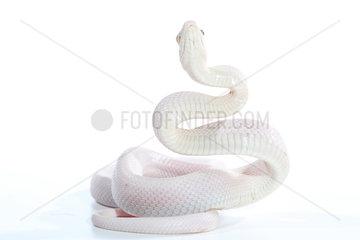 Black Ratsnake (Pantherophis obsoletus obsoletus) albino in defense position on white background