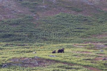 Kamchatka brown Bear (Ursus arctos beringianus) and young  Bukhta Yuzhnaya Glubokaya  Kamtchatka  Russia