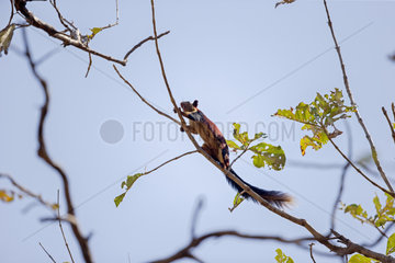 Indian giant squirrel on a branch - Satpura India