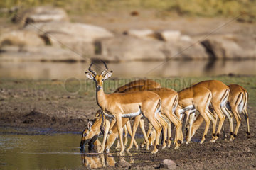 Impala (Aepyceros melampus) male and females at water hole  Kruger National Park  South Africa