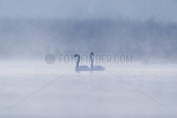 Mute Swan (Cygnus olor) pair in the mist at dawn  Ile du Rhin  Alsace  France