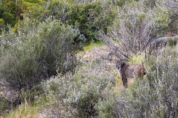 Spanish lynx (Lynx pardinus)  Andujar Natural Park  Jaen  Spain