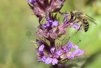 Solitary bee ((Melitta nigricans) male on purple loosestrife  North Vosges Regional Nature Park  France