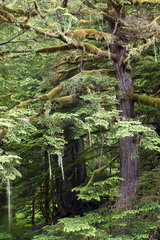 Temperate Rainforest - Exchamsiks British Columbia Canada