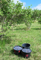 Buckets filled with organic blueberries  Picking done by individuals in the orchard who buy by weight blueberries  Cambo Les bains  Basque Country  France