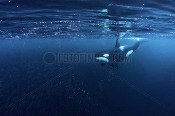 Killer whale  Orcinus orca  hunting for herrings Andenes  Andøya island  North Atlantic Ocean  Norway.