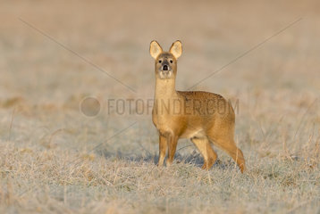 Chinese water deer (Hydropotes inermis) Male standing in a frosty meadow at sunrise  England  Winter