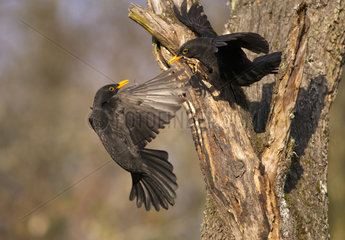 Fight between two Blackbirds (Turdus merula)  Regional Natural Park of the Vosges du Nord  France