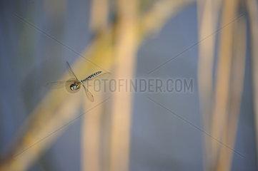 Brown Hawker (Aeshna grandis) in flight  Lorraine  France