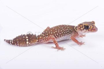 Eastern thick-tailed gecko (Underwoodisaurus husbandi) on white background