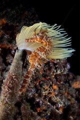 Long-snouted seahorse (Hippocampus guttulatus) in front of a Mediterranean fanworm (Spirographis spallanzani)