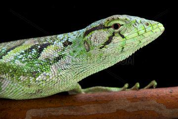 Portrait of Monkey lizard (Polychrus marmoratus)  Suriname