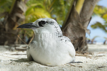 Red tailed tropic bird (Phaethon rubricauda) Cook Islands.