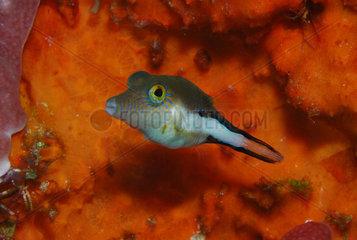 Caribbean sharpnose-puffer (Canthigaster rostrata)  Cozumel  Caribbean Sea  Yucatan  Mexico
