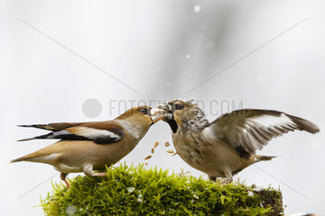 Hawfinch (Coccothraustes coccothraustes) fight on a tree stump in winter  snow shower  Alsace  France