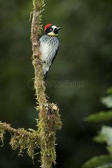Acorn woodpecker (Melanerpes formicivorus stristipectus)  Talamanca Mountains  Costa Rica