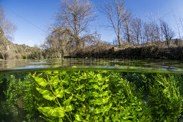 Aquatic vegetation  Bueges spring  Occitania  France