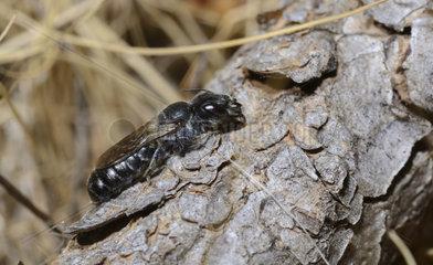 Mason bee (Osmia adunca) female on bark  Serre-Chevalier  Alps  France