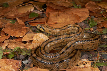 Ladder snake (Rhinechis scalaris) on dead leaves  Montpellier  Occitanie  France