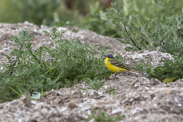 Ashy-headed Wagtail (Motacilla flava) male on a grassy slope in spring  Salins des Pesquiers  Hyeres  Mediterranean Coast  France