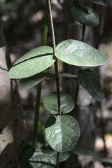 Boldo leaves - La Campana Chile