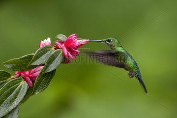 Green-crowned brilliant (Heliodoxa jacula)  female feeding on flower  Costa Rica  July