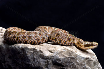 Siberian pit viper (Gloydius halys) on black background