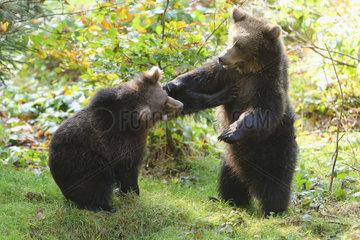 Brown bear (Ursus arctos) Two bear cubs playing  Bayerischerwald  Bavaria  Germany