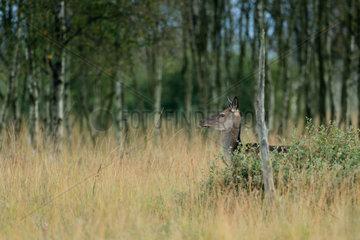 Red Deer (Cervus elaphus) hind   Walloon Fens  Ardenne  Belgium