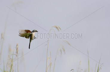 Red-backed Shrike (Lanius collurio) male landing on its lookout station Regional Natural Park of the Vosges du Nord  France