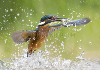 Kingfisher (Alcedo atthis) fishing  England
