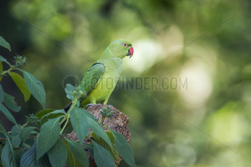 Rose-ringed Parakeet (Psittacula krameri) on a branch  Minneriya national park  Sri Lanka