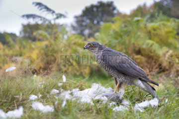 Sparrowhawk (Accipiter nisus) Female with a prey  Autumn  England