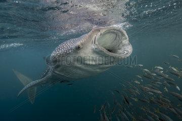 Whale shark (Rhincodon typus) filtering plankton - Djibouti